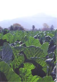 ケールの葉は非常に濃い鮮やかな緑色が特徴。