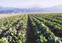 一面のケール畑は無農薬で、化学肥料も使っていません。