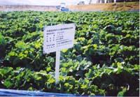 畑はJAS有機認証を取得しています。